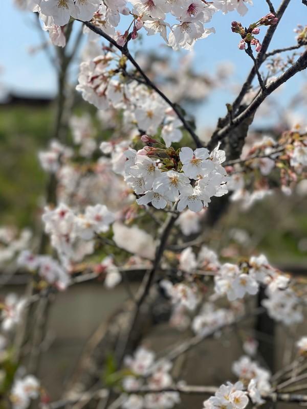 桜の季節になりました。